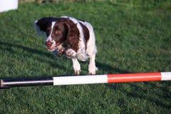 Un type fonctionnant chien de chasse d'animal familier d'épagneul de springer anglais sautant un saut d'agilité Images stock