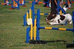 Un type fonctionnant chien de chasse d'animal familier d'épagneul de springer anglais sautant un saut d'agilité Photo stock