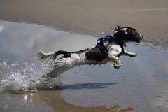 Un type fonctionnant chien de chasse engish d'animal familier de springer spaniel sautant sur une plage sablonneuse Photo stock