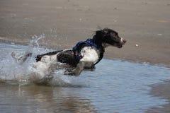Un type fonctionnant chien de chasse engish d'animal familier de springer spaniel sautant sur une plage sablonneuse Photo libre de droits