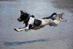 Un type fonctionnant chien de chasse engish d'animal familier de springer spaniel sautant sur une plage sablonneuse Photographie stock libre de droits