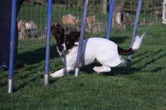 Un type fonctionnant tissage d'agilité de chien de chasse d'animal familier d'épagneul de springer anglais Photographie stock libre de droits