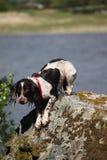 Un type fonctionnant très humide chien de chasse d'épagneul de springer anglais Photos stock