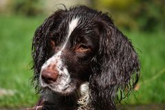 Un type fonctionnant très mignon chien de chasse d'épagneul de springer anglais Images libres de droits