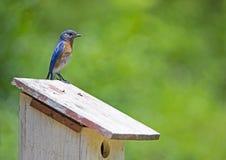 Un uccellino azzurro maschio appollaiato con un fondo verde immagine stock