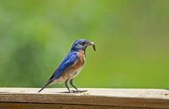 Un uccellino azzurro maschio con un verme in suo becco con un fondo verde immagine stock libera da diritti