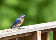 Un uccellino azzurro maschio fissa alla macchina fotografica fotografia stock
