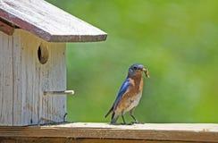 Un uccellino azzurro maschio porta un verme al nido immagini stock libere da diritti