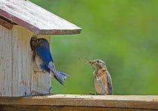Un uccellino azzurro maschio verifica il nido che il suo compagno sta costruendo fotografia stock