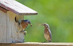 Un uccellino azzurro maschio verifica il nido che il suo compagno sta costruendo fotografia stock libera da diritti