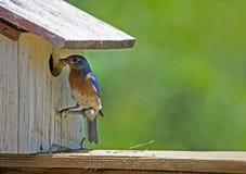 Un uccellino azzurro maschio verifica il nido che il suo compagno sta costruendo fotografie stock