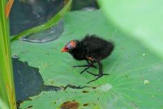 Un uccellino implume comune della gallinella d'acqua Immagini Stock Libere da Diritti