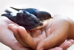 Un uccellino implume sulle palme di una ragazza bello pollo del sorso fotografie stock libere da diritti