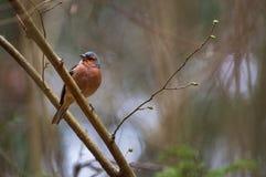 Un uccellino su un ramo Fotografia Stock