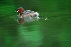 Un uccello acquatico di nuoto fotografie stock