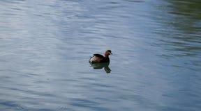 Un uccello acquatico nelle acque di uno stagno nella città di Lijiang, il Yunnan, Cina immagine stock