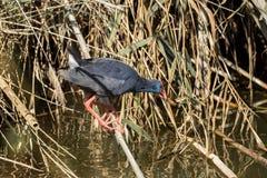 Un uccello acquatico si muove sui rami sull'acqua immagine stock libera da diritti