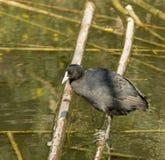 Un uccello acquatico si muove sui rami sull'acqua fotografie stock libere da diritti