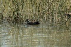 Un uccello acquatico sta nuotando nello stagno immagine stock