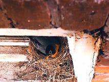 Un uccello americano della madre del pettirosso che si siede sulle uova immagine stock libera da diritti