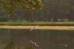 Un uccello bianco dell'egretta che sorvola l'acqua fotografia stock