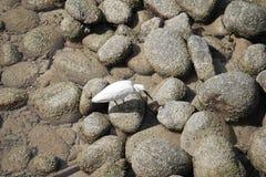 Un uccello bianco sta camminando sulle rocce che hanno lichene Fotografia Stock