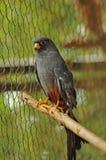Un uccello che si siede su un bastone. Fotografie Stock Libere da Diritti