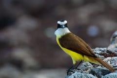 Un uccello che vive nella regione della spiaggia del Messico Fotografia Stock