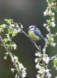 Un uccello del bluetit. Fotografia Stock