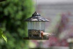 Un uccello del ciuffolotto messicano su un alimentatore immagini stock libere da diritti