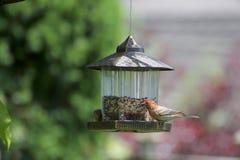 Un uccello del ciuffolotto messicano su un alimentatore fotografia stock