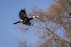 Un uccello del cormorano di volo Immagini Stock