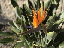 Un uccello del fiore di paradiso Immagini Stock Libere da Diritti