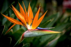 Un uccello del fiore di paradiso fotografia stock