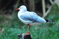 Un uccello del gabbiano che sta su una gamba su un ceppo Fotografie Stock