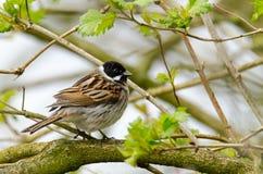Un uccello del giardino si appollaia su un ramo di albero fotografie stock libere da diritti