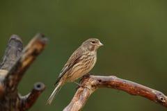 Un uccello del linnet. Immagine Stock