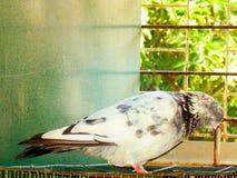 Un uccello del piccione immagine stock