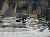 Un uccello del reare sta andando alimentare suoi piccoli con questo pesce in arcipelago dal golfo di Finlandia immagine stock