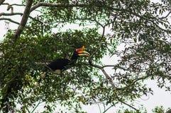 Un uccello del rinoceronte un uccello del rinoceronte, mangia la frutta, sedentesi su una t Fotografie Stock