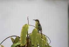 Un uccello del sole Fotografie Stock Libere da Diritti