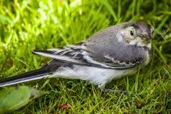Un uccello del sorso Fotografia Stock