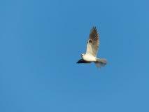 Un uccello dell'aquilone dalla coda bianca in volo immagine stock libera da diritti