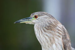 Un uccello della nicticora ricoperto il nero Immagini Stock