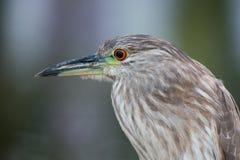 Un uccello della nicticora ricoperto il nero Fotografia Stock Libera da Diritti