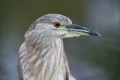 Un uccello della nicticora ricoperto il nero Immagine Stock