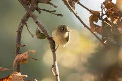 Un uccello di Bushtits nella mattina California del Nord di caduta fotografie stock libere da diritti