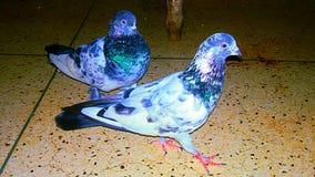 Un uccello di due piccioni fotografie stock
