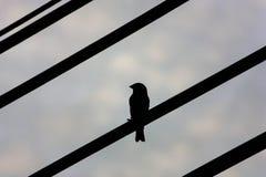 Un uccello indipendente unico che appende su un cavo elettrico fotografia stock libera da diritti