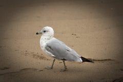 Un uccello interessante in Beverly, Massachusetts U.S.A. Fotografia Stock Libera da Diritti